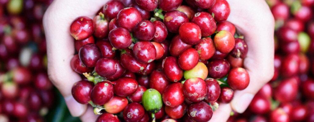 داستان دانههای قهوه: از مزرعه تا فنجان