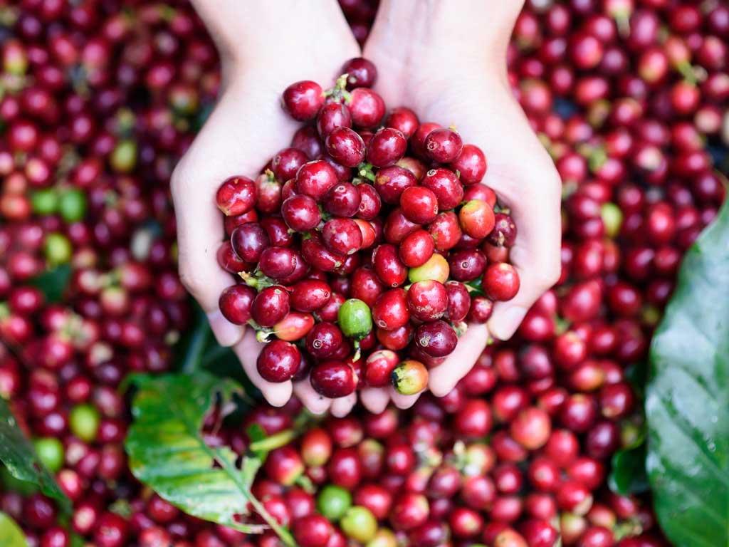 قهوه اتیوپی، قدیمیترین خواستگاه قهوه عربیکا در جهان