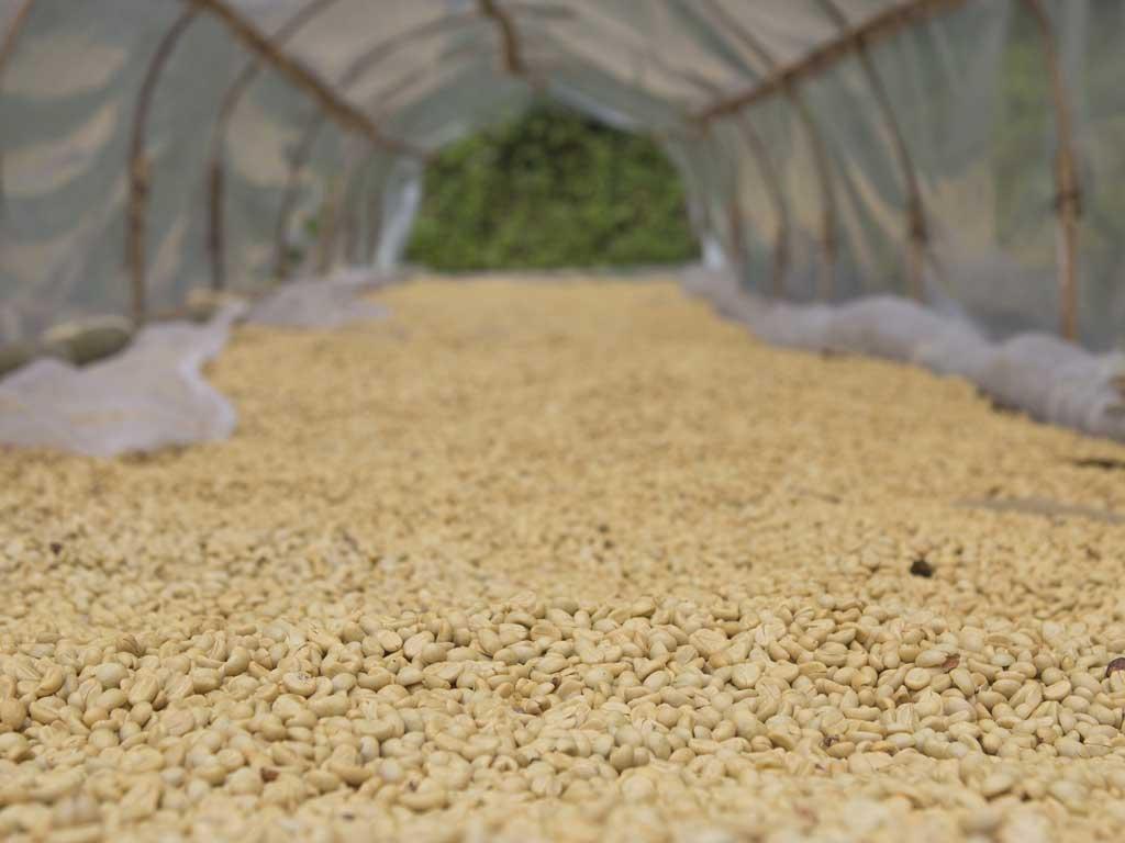 خشک کردن قهوه . از کاشت تا برداشت