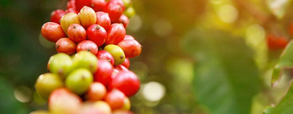 گونه های قهوه-اصول و شرایط کاشت قهوه
